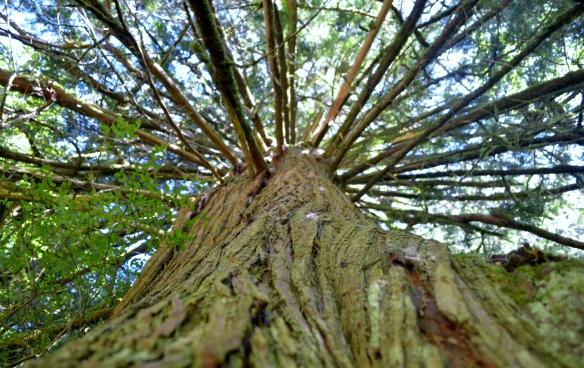 Our Big Cedar Tree