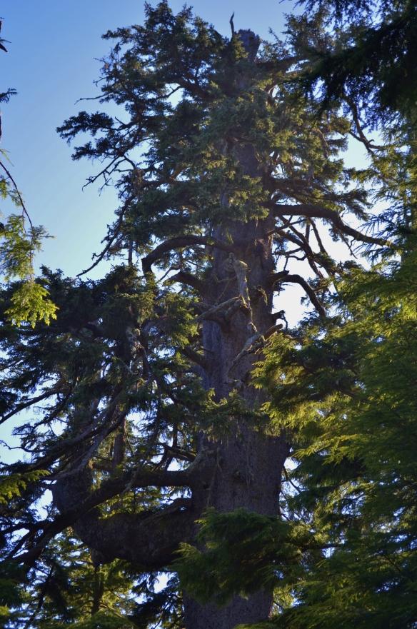 Cape Meares Big Spruce